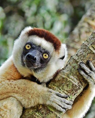 lemur wildlife trip explore travelphotography followme risemadagascar nature photooftheday justgoshoot communityfirst braitifuldestinations passionpassport instagood natgeotravel tripadvisor igtravel wildlifephotography lifeofadventure worldlemurday primate igersmadagascar tflers