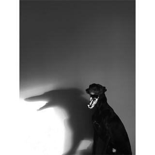 iggylove abstract bnw_top italiangreyhound black doglife iggy bnw_society instafamous morninglight vscomoment light blackandwhitephotography everything_bnw blackdog blackandwhite mobilephotography vscoua instadogs dogs vsco greyhound wroclaw shadows bw bnw_life monochrome bnw_souls bnw