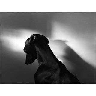 vscoua vsco bnw_lightandshadow italiangreyhound abstract bnw_life iggy bnw_society mobilephotography everything_bnw blackandwhite photooftheday blackandwhitephotography bnw bnw_souls shadows vscomoment monochrome bnw_top instafamous bnw_drama morninglight portrait blackdog greyhoundcuteness bnw_portrait
