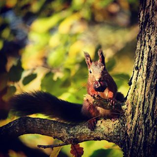 wildlife squirrel panasonic100300mm nature lumixgh5 lumixgermany natur animal beautyofnature forest blackforest yeslumix eichhörnchen tier wald outdoor autumncolors lumixcamera lumixexperience autumn