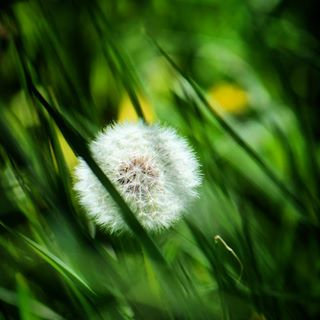 sundaymood pusteblume flowergram flower beautyofnature