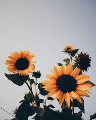nature flowers vscogood instago vscocam vsco sunflower photooftheday instagood vscogrid instagram vscofilter potd color