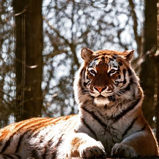 zoo nature wildlifephotography animals igerskent kent animal portlympnezoo tiger portlympnereserve canon wildlife mycanon stripes light portlympne