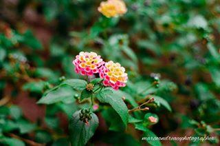 35mm analog bokeh flowers love minolta passion reflex slr_photography summer vintage