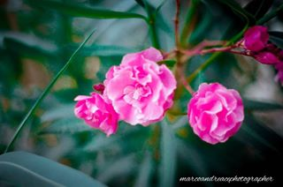 35mm flowers kodak love minolta oleander passion pink slr_photography summer vintage
