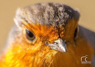 birds nature birdportrait wildlife robin sigma canon photography red forest