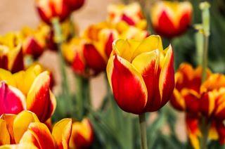 canon spring primavera red flowers colori tulip passion natura nature colors tulipano photography yellow canon6d tulips photographer fiori tulipani tulipanigialli fotografia foto photo naturephotography