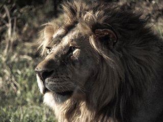 africa kenya lionking safari