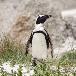 africa animalsofinstagram bouldersbeach capetown instagood instapenguin penguin penguins penguinstagram southafrica summervibes throwback