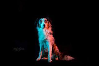 australianshepherd shesmylove photo dog_features cutie aussielove dogbeauties puppyphotography luxustaumodelsearch dogphotography aussie love doggy puppyphoto puppylove photography mylittlegirl dog like puppy aussiepuppy cute photographer
