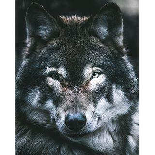 ilivetoexplore brandenburg wolf theoutdoorfolk moody gooutside nature intothewild adventurevisuals iroameurope