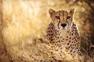 travelphotography winterlightphotography cheetah wildlife winstalight travel namibia wildlifephotography travelafrica africa
