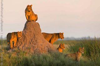 wildlifephotography conservation wildlife lion africa lioncub nature