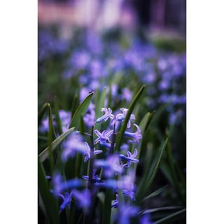 50mm 50mmlens amateurphotography april beautiful flowers hyacinth hyacinthflower lens lovespring nikon3200 photographer photography photographyoftheday photooftheday purple purpleflowers spring