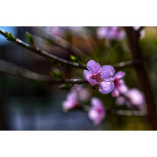 50mmlens april aprilie beautifulnature beginnerphotographer easter flowers happiness nature naturephotography nikon nikon3200 photography photooftheday pink pinkflowers romania treeblooms trees