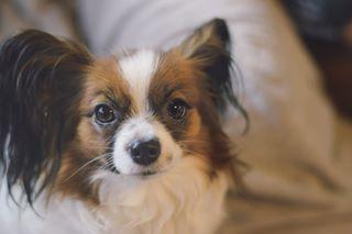 animal dogs papillon photography portrait staringintothesoul