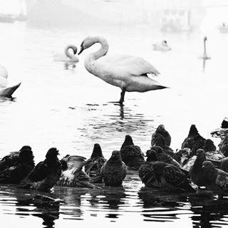 kej pigeon instagram ig_zemun birds swan zemun royalsnappingartists photo fotografia instadaily danube photography river ig_srbija