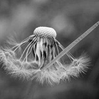 beautiful blackandwhite blossom bnw closeup closure dandelion flowers germany latergram macro macrophotography monochrome nature naturegram naturelovers pusteblume summer summervibes