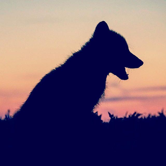 animal_daily_dose animalphotography cute dog doggielove doglover dogphotography dogpicoftheday dogsinmunich gegenlicht heulen insta_mood mondaymorning petphotography puppy puppyphotography romantic shadowart silhouette sunset turkobjectif_animal wärme welpe welpenfotografie wolf