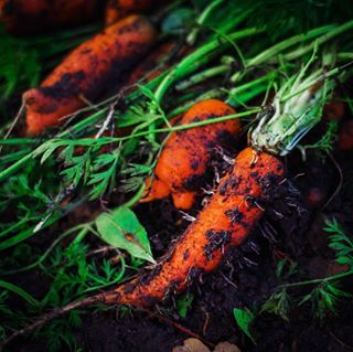 autumn carrot carrots crop fall food fresh fromtheground healthy juicy nature naturesgifts produce yummy