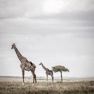 africa afrika akazie animals bucketlist canon giraffa giraffe kenia landcruiser masaimara masaimaracamp mastershot migration milliondollarshot natgeo nature reise reisen safari sigma sky tanzania travel wanderlust wildlife wowair wowaircrew