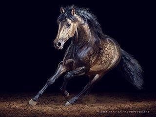 bestofequines equestrian equineart equinelove equinephotographer equinephotography equinesofinstagram horse horseaddict horselove horsephotographer horsephotography horses horsesofinstagram horsetagram instahorse pferde pferdefotograf pferdefotografie pferdeschoenheiten pre stallion