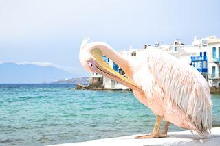 wonderful_mykonos summer pelican mykonos littlevenice likeforlike like4like greece beautifulgreece