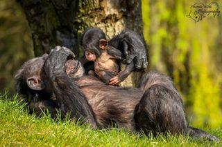 monkeys chimpansee green kiekeboe canonglobal animals mijncityfoto_dieren dierentuin dierenrijk chimpanzee zoomnl dierenrijknuenen chimp babymonkey monkey animal familie zoo peekaboo