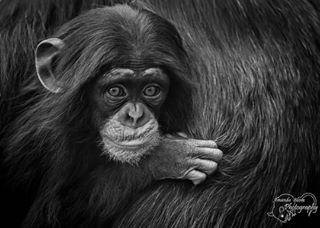 digifotopro monkey dierentuin zoomnl blackwhite animals blackwhiteportrait sharp canonglobal canon chimp animal cute fierce_shots dierenrijknuenen chimpansee aapje babymonkey chimpanzee aap blackandwhiteonly canonnederland portrait