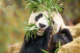 canonnederland canon animalportrait canonusa portrait reuzenpanda bamboo canonphotos pandas zoo hideandseek bigpanda eatingbamboo schuw bigpandagroup fotodevakman bigpandaworld dierentuin panda cute bamboe dier verstoppen grotepanda animal