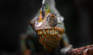 photooftheday lizards chamäleon viewbug lovely zoo chameleon chamäleons animals flickr akphotography lizard shooting cute gurushots tiere tier loveforlove österreich austria tree schmiding chameleons 500px reptiles animal color youpic reptile