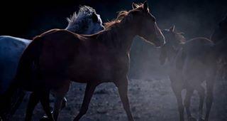 wildlifephotography wildhorses lompocca equinephotography santaynezvalley returntofreedom wildmustang herd