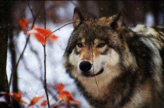 wildlife woods graywolf snow lakotawolfpreserve sanctuary mountains outdoors wolf newjersey nature wildlifephotography columbia