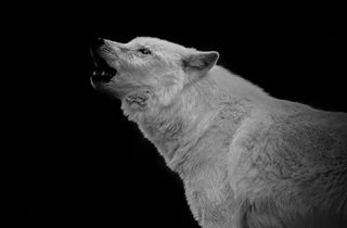 wildlifesanctuary autumn instagood fall photographersofinstagram preserve howlingwolf nikonphotography portrait whitewolf newjersey thingstodoinnewjersey camptaylor lakotawolfpreserve arcticwolf howl blackandwhitephotography wolves nikond7000 wildlifephotography wolf animalphotography