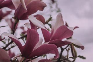 floral beoarthouse beautiful magnolia springtime umetnostizmogugla flowers pretty outdoors bloom visualsoflife love season blossom photooftheday tree pink flower petal dellgardo darlingmovement beauty nothingisordinary