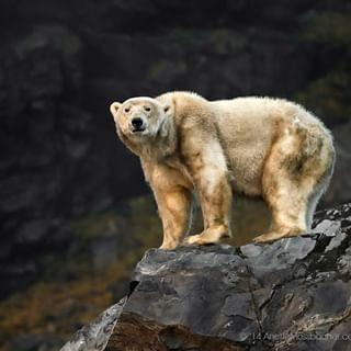 wildlifephotography spitzbergen polarbear svalbard imagebrief wildlifepicture ursusmaritimus wildlife northpole cliffs norway arcticwildlife