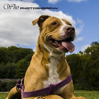 dogslife whophotography canon dogsofinstagram pitbull naturephotography photography dogs canon450d