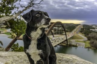 dogs_of_instagram petphotographer austin petphotography dogphoto dog terrier dogoftheday terriermix austindogs 360bridge atx pup atxstyle doglover austinfurtography dogphotography austintx instapuppy austintexas atxlife adorable