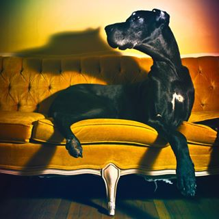 dogsofinstagram vintage couch largebreed greatdanesunleashed greatdaneproblems long dog dogs greatdane colorful fashion greatdanephotography neck
