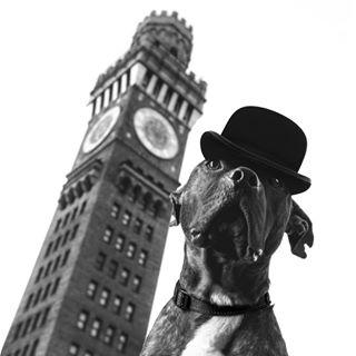 dogsofinstagram gent cute clock staffordshirebullterrier bromoseltzer fashion gentleman rescue fun hat clocktower bulldog bromo adoptdontshop pitbull chap baltimore bowlercap bullterrier terrier fancy dogcostume dogcosplay