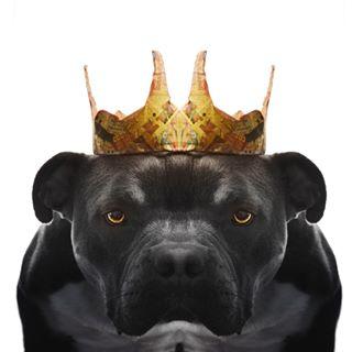 petcosplay og rescuedog crown moody jewelry surreal canonphotographer character golden puptrait dog angry royalty dogcostume model pibble dogportrait dogsofig designer adoptdontshop maryland pitbull reflection gold fun demon dogphotographer fashion baltimore