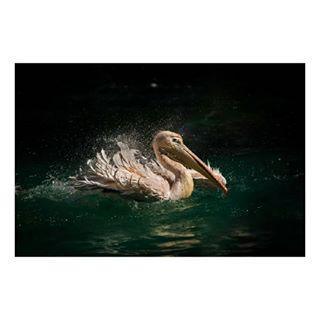 greenwater pelican birds