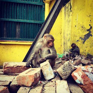 animallovers aroundtheworld backpacking bricks globetrotter incredibleindia india india_gram monkey monkeylove monkeyseemonkeydo travelblogger traveling urbanphotography varanasi visitindia