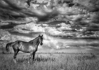 myphotography 101spunkysam smugmug prcahorsesaresocool 101 blackandwhitephotography broncsofthebarhv prca harryvoldrodeocompany horses clouds kaysadukephotography