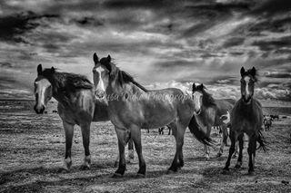rodeo rideforthebrand prcahorsesaresocool prca horses harryvoldrodeocompany cowboy colorado broncsofthebarhv barhv