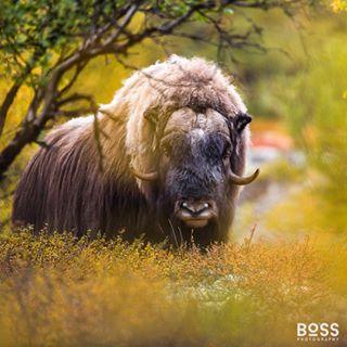 canon mammal wildlife nature wildnature wildlifeanmls exclusive_wildlife photographer nature_photographer naturephotography instafollow photooftheday photo muskox picoftheday awesome_earthpix wildlifephotography animal