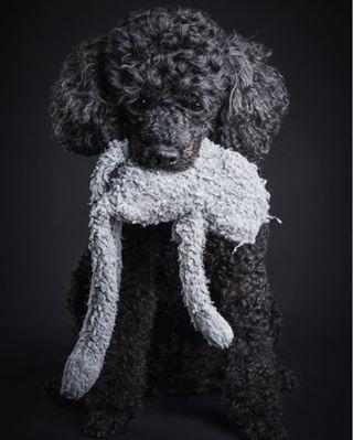 cutedogs toy poodle dogphotography dogsofinstagram dog mydogiscutest ljubimac pasić dogstagram doggy pet dogs pas blackpoodle dogs_of_instagram pepsi
