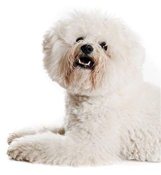 white pet pasić pas pako mydogiscutest ljubimac dogstagram dogsofinstagram dogs dog cute bichonfrise bichon beautiful adorable