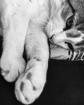 catsofinstagram white cute blackandwhite flofy cat