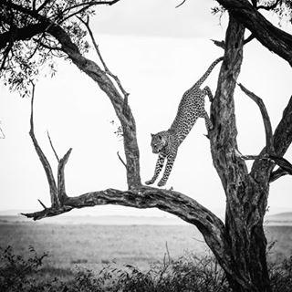 leopard picoftheday mood safari explore wildlife tree animal travel masaimara jump throwback nature kenya blackandwhite